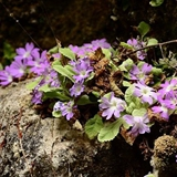 New species of Primula was found in Sichuan